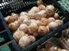 sadlova-houba