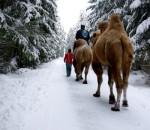 Projížďka na velbloudech v okolí Tábora