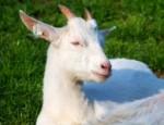 Kozí farma Rozinka