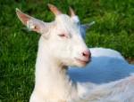 Koza na fotce z kozí farmy Rozinka