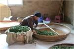 Farmář vyrábějící oolong čaj