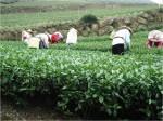 Spěr čaje na čajové farmě