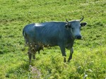 na obrázku je modrá kráva, specifické plemeno krav žijící v lotyšsku s šedého zbarvení s nádechem modré