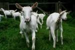 Kozí farma