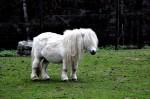 Na obrázku je bílý poník ve výběhu v ZOO Liberec