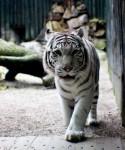 Na obrázku je Bílý Tygr ve výběhu v ZOO V Liberci
