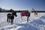 Romantické Máslovice- obrázek s okolím muzea másla v Máslovicích, na obrázku koně v zasněžené krajině