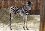 Na obrázku je mládě zebry narozené v Liberecké zoologické zahradě
