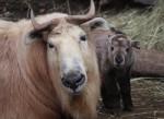 na obrázku je takin s mládětem v Liberecké zoologické zahradě, v popřředí starší jedinec, v pozadí čerstvě narozené mládě