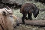 Takin čínský v Liberecké zoo s mládětem
