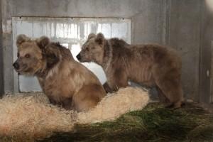 dvojice medvědů plavých v ZOO Hluboká