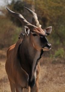 Antilopa Derbyho ve výběhu zoologické zahrady v Ostravě