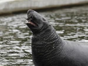 Tuleň kuželozubý, v ZOO Chomutov