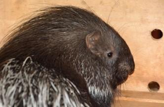 Dikobraz v zoo Ústí nad Labem v novém výběhu