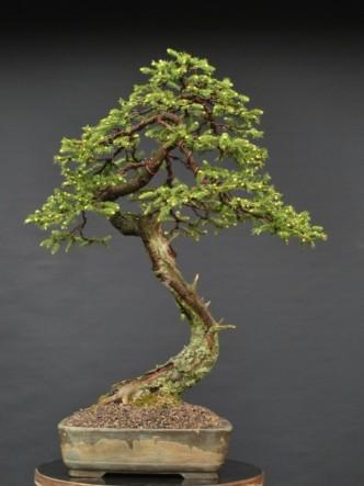 Smrkový bonsaj v květináčku