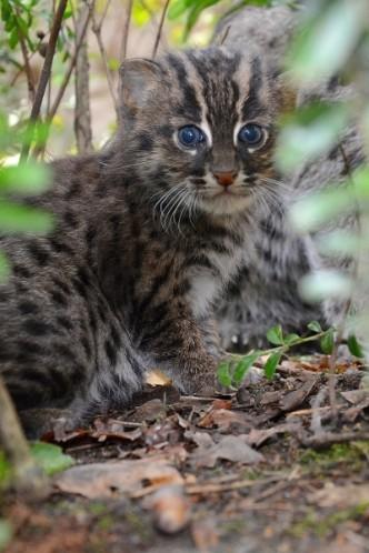 v Děčínské ZOO se narodilo kotě kočky rybářské