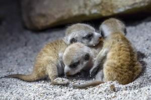 Mláďata surikat v ZOO Praha