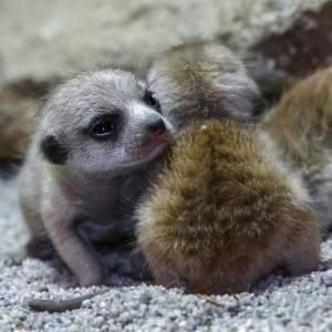 Mláďata surikat v ZOO