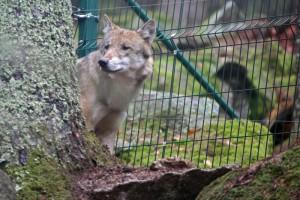 Vlk ve výběhu v návštěvnickém centru Srní na Šumavě