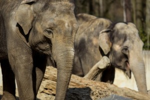 Slon indický v zoo Ostrava