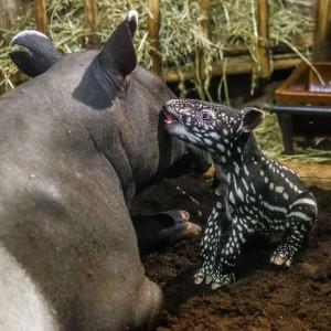 Mládě tapíra s maminkou v zoologické zahradě v Praze
