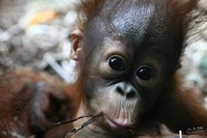 orangutaní samička v ZOO