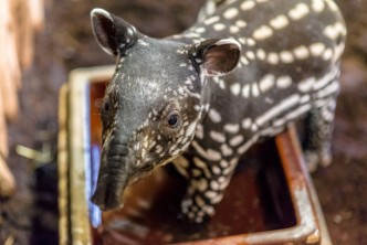 mládě tapíra čabrakového v Zoo Praha