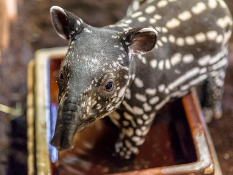 mládě tapíra čabrakového