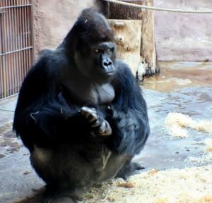 Na obrázku je gorilí samec Richard v ZOO Praha