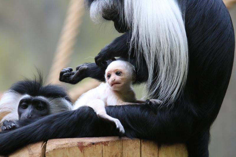 mládě guerézy angolské s matkou v zoo Dvůr Králové nad Labem