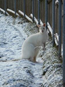 albín klokan v ZOO Tábor