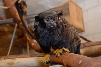 Tamarín v Zoo Děčín