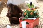 orangutaní samička