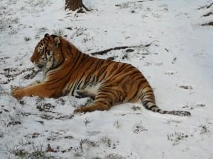 Tygr v ZOO Tábor