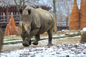 Běžící nosorožec tuponosý jižní v ZOO Dvůr Králové nad Labem