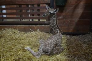žirafa síťovaná -mládě v ZOO Brno