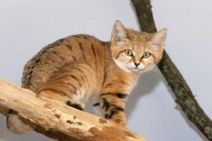 Kočka pouštní v expozici ZOO Jihlava