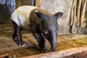 _ Mládě tapíra čabrakového v expozici ZOO Praha