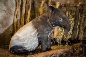 _ Mládě tapíra čabrakového v ZOO Praha
