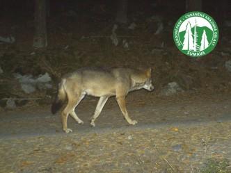 vlk zachycený fotopastí v národním parku Šumava