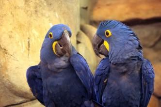 Pár modrých papoušků Ara
