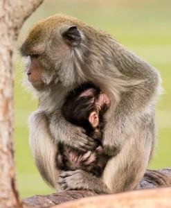 Makak s mláďětem v ZOO Tábor