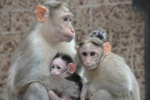 Rodina makaků s mládětem