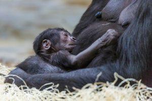 Co dělat v Praze? Zajděte se do zoo podívat na gorilí mládě! Na obrázku mládě s matkou