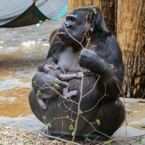 Gorila s mládětem