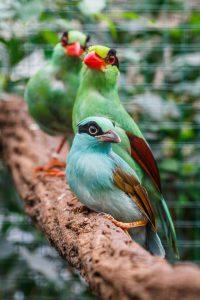 Pestrobarevné krasky krátkoocasé jávské