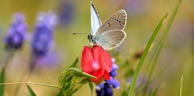 Na obrázku motýl Glacopsyche_alexis Modrásek kozincový v článku o motýlích loukách a o tom jak pomáhat chránit motýli