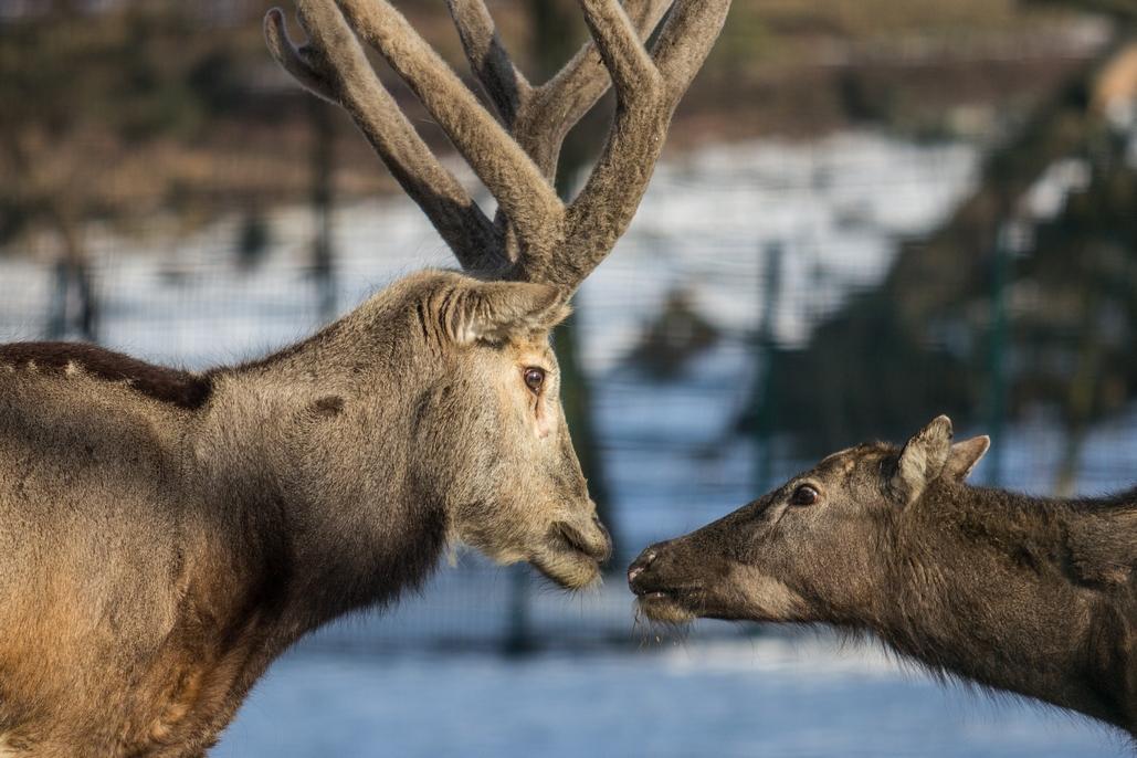 Zamilovaný pár jelenů