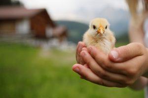 Jaro v Jižním Tyrolsku - kuřátko v náruči