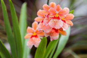V ostravské ZOO se otvírají skleníky, na obrázku rozkvetlá orchidej